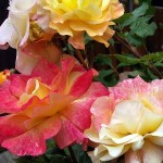 Hybrid tea roses delight with an array of gorgeous colors!