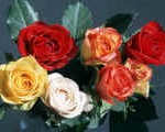 rainbow rose colors